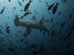 hammerhead shark swims close to Wolf Island at Galapagos Marine Reserve 620x465