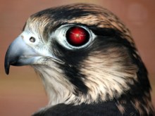 Robotic falconry to foil unwanted drones